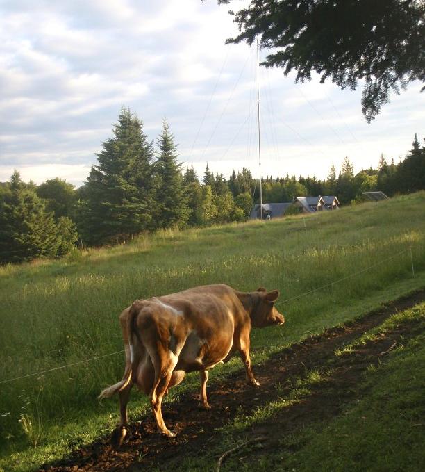 Ben's Cow