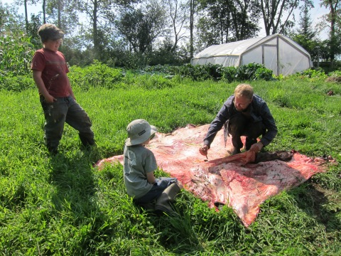 Cutting up a steer hide in preparation for fleshing and drying