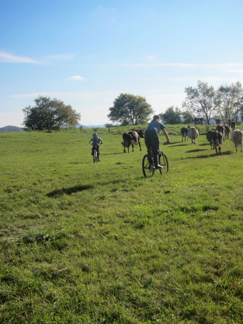 Taking the cows down for afternoon milking