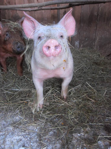 New piglets. They're curious.